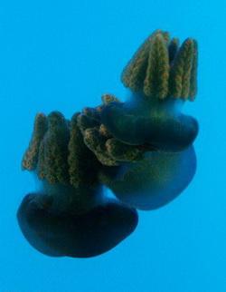Ядовитая чёрная медуза